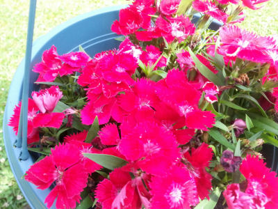Fuchsia-colored Dianthus