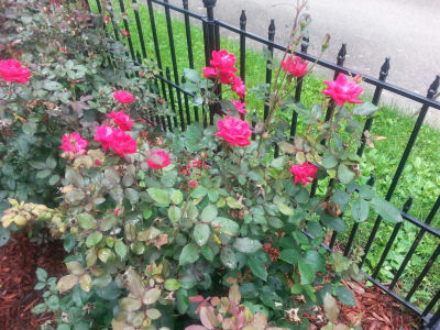 Red roses along ornamental fence