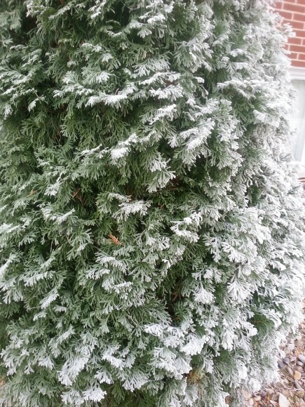 Arborvitae, which grows tall and cone-shaped and stays green all winter