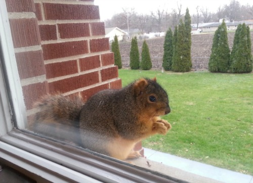 squirrel_on_sill