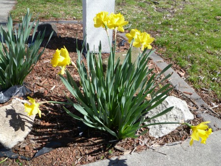 Who doesn't love Daffodils? Mine aren't blooming yet, so I snapped a neighbor's patch!