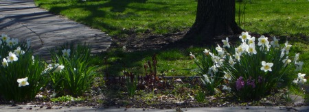 More Daffodils, along with some bulb flowers yet to burst forth