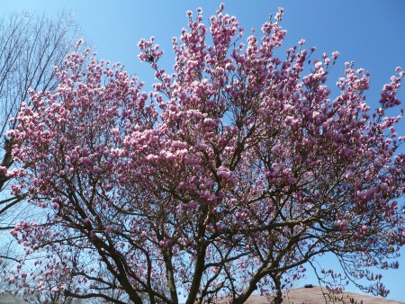 Pink magnolia against a blue sky