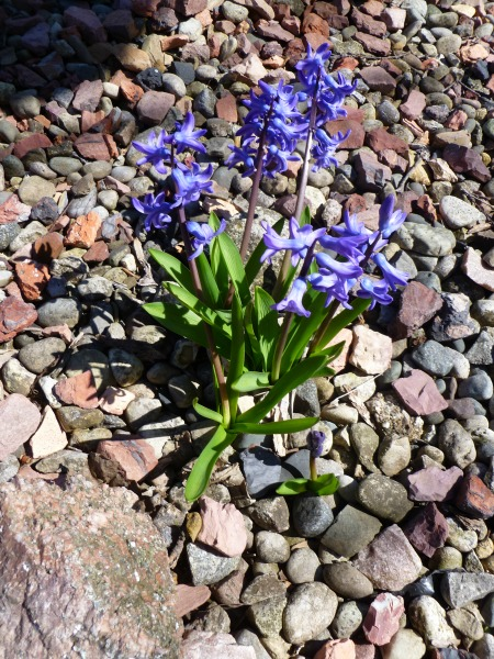 There's an entire row of these blue Hyacinths, and the scent is heavenly!