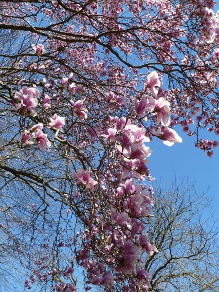 Magnolia branch up close