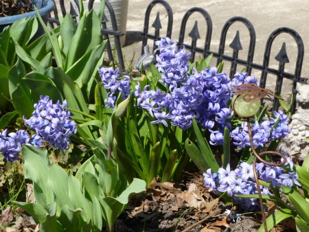 One house had an entire row of these blue Hyacinths, and the scent was intoxicating!