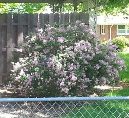 My neighbor's lilac bush has an intoxicating scent!