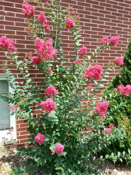 Watermelon-colored Crepe Myrtle