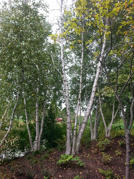 A grove of white birches
