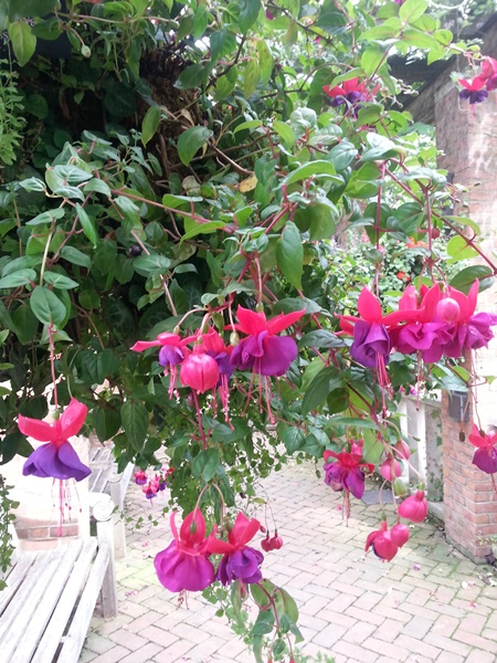 Fuschia in immense hanging baskets